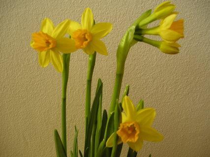 FOTKA - Narcis