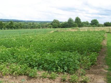 FOTKA - brambory