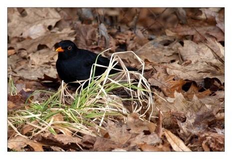 FOTKA - kos černý z jara