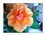 detail květu růže