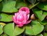 Leknín v růžovém