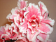 Azalka růžová