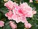 Květy azalky