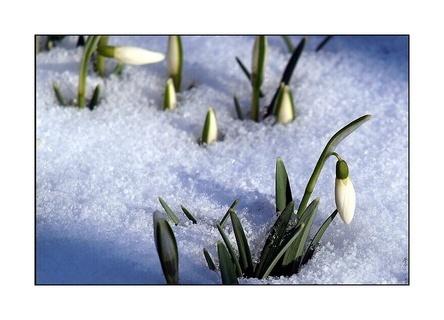 FOTKA - sněženky pod peřinkou