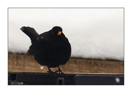FOTKA - kos černý