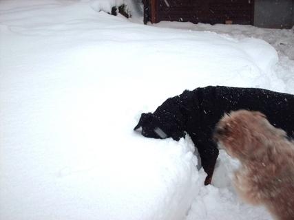 FOTKA - Roxy hledá míček ve sněhu / 20.2.2009/