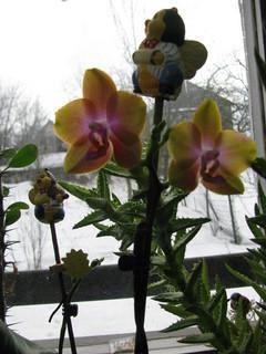FOTKA - oranžová orchidejka