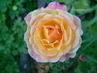 Růže z babiččiny zahrádky