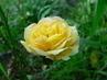 Ještě růže