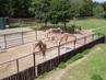 žirafy a za nimi zebry