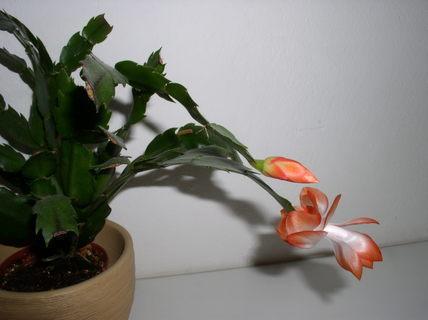 FOTKA - Velikonoční kaktus