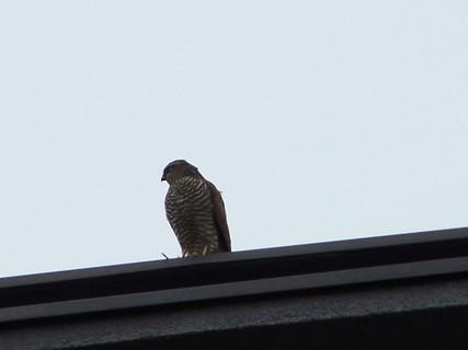 FOTKA - Dravec na střeše