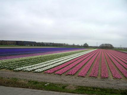 FOTKA - Pole z hyacintů v Holansku