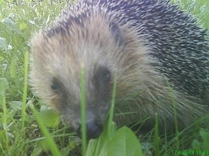 FOTKA - ježeček