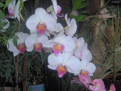 FOTKA - Takhle krásně mi kvetla orchidej