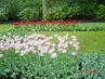 tulipány v parku