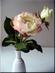 Ruže bílá