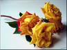 Ruže žlutá
