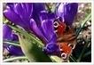 první motýl