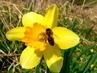 Mlsná včelka