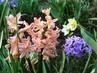 barevné hyacinty