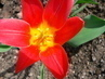 první tulipán