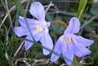 Ladoňky květy