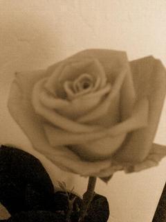 FOTKA - Růžička