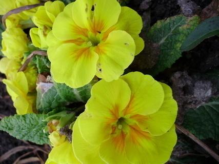FOTKA - Žluté petrklíče