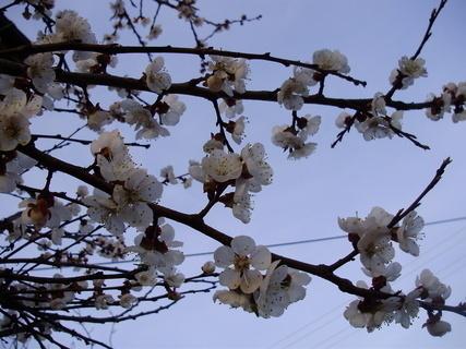 FOTKA - Kvetoucí meruňka