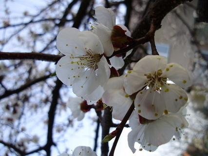 FOTKA - květy meruňky