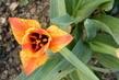 Tulipán střed