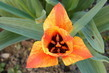Tulipán prostředek