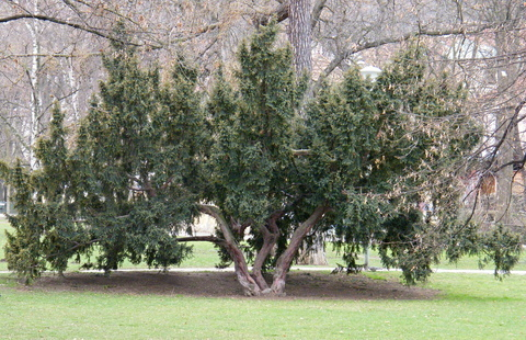FOTKA - Široký strom v parku