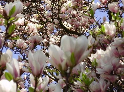 FOTKA - Magnolie v parku