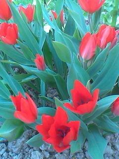 FOTKA - zakrslé tulipány