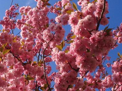 FOTKA - sakura