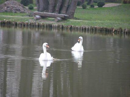 FOTKA - labutě