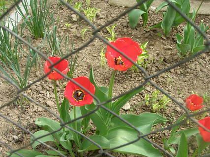 FOTKA - kvetou za plotem