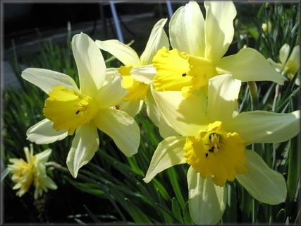 FOTKA - Narcisy a jejich obyvatelé
