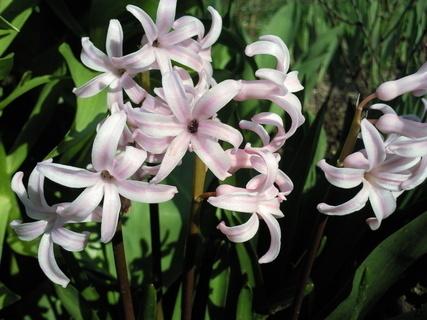 FOTKA - Detail růžového hyacintu