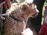 gepard)))