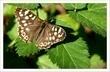 motýlek hnědý