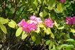 Rhododendron pomalu odkvétá