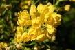 Žlutý trsík