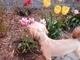 Voní?  Aisha a tulipány - 28.4.2009