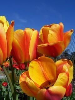 FOTKA - tulipány,