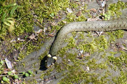 FOTKA - Užovka had