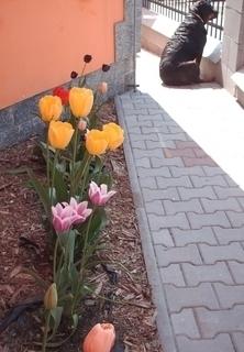 FOTKA - Naša rottweilerka   Roxy a tulipany  - 28.4.2009