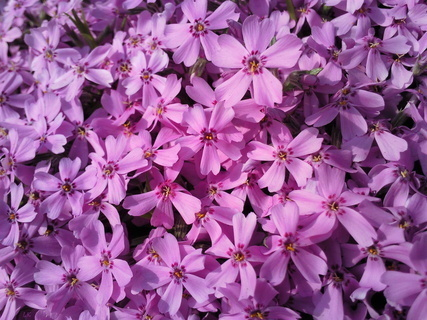 FOTKA - Růžovofialový květovaný koberec